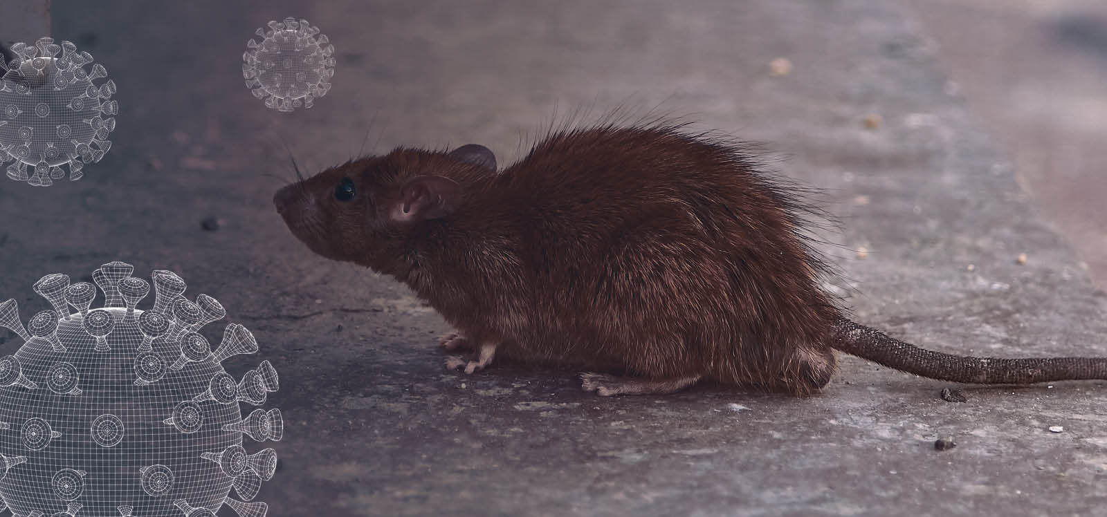 Business at Risk from Rodent Infestation